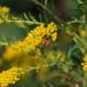 Goldraute mit Biene